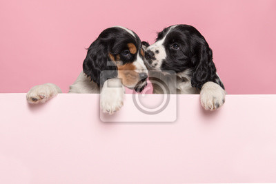 Two cuddling Cocker Spaniel puppies hanging over the border of a pastel pink board on a pink background with space for copy