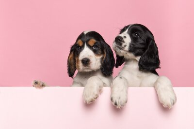 Two cute Cocker Spaniel puppies hanging over the border of a pastel pink board with its paws on a pink background with space for copy