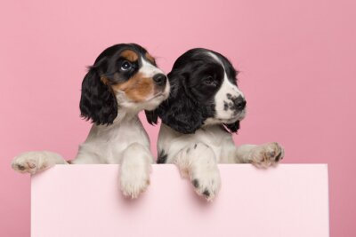Two cute Cocker Spaniel puppies hanging over the border of a pastel pink box on a pink background