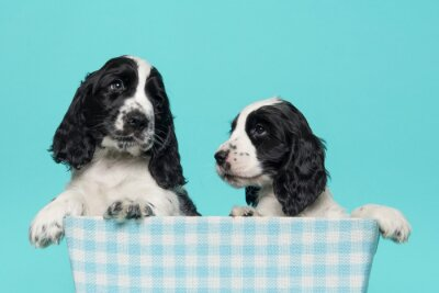 Two cute cocker spaniel puppy dogs in a checkered basket on a blue background