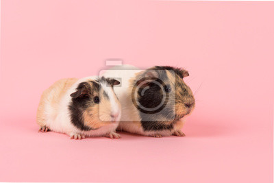 Two guinea pigs on a pink background seen from the side