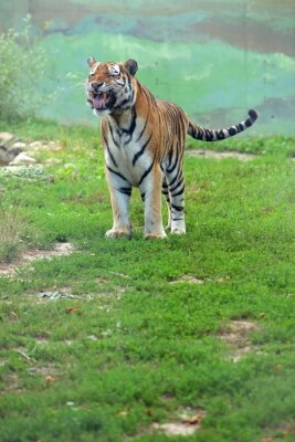 Papiers peints Tygrys bengalski