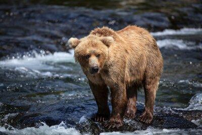 Papiers peints Un brun d'Alaska cherche du saumon dans les riffles de la rivière Brooks.