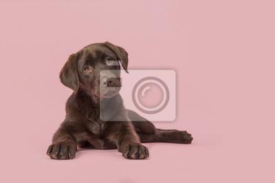 Un chien labrador retriever brun de quatre mois couché sur l'avant en regardant la caméra sur fond rose