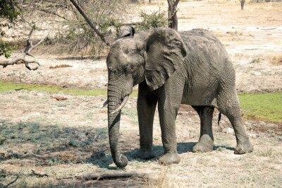 Papiers peints Un éléphant dans la savane - Tanzanie - Afrique