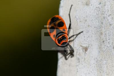 Un insecte noir et rouge comme un masque tribal africain