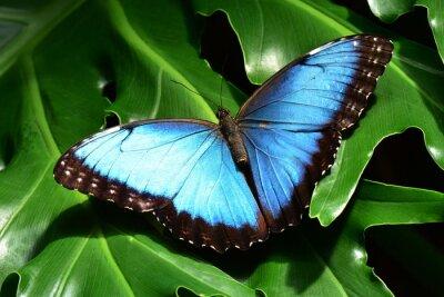 Papiers peints Un joli bleu terres morpho papillons dans les jardins de papillons.