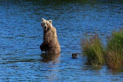 Papiers peints Un ours brun de mère regarde en arrière pour vérifier sur ses petits en traversant la rivière Brooks, le parc national Katmai, en Alaska