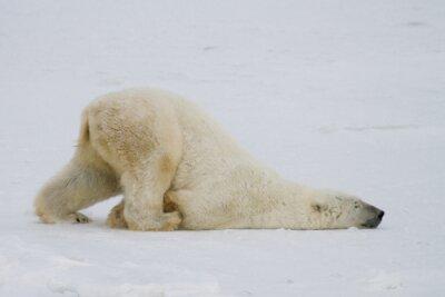 Papiers peints Un ours polaire bête pousse à travers la neige sur son ventre.