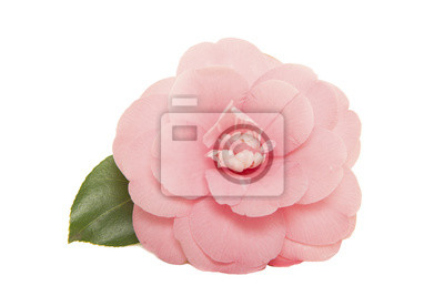 Un seul rose fleur rose camelia japonais rose avec feuille isolé sur fond blanc