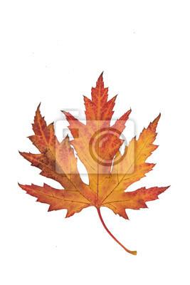 Unique, coloré, rouges, jaune, et, brun, érable, automne, feuille, isolé, sur, a, blanc, fond