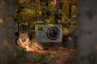 Unique, loup, mensonge, soleil, automne, conte, forêt