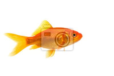 Unique, poisson rouge, vu, côté, isolé, blanc, fond
