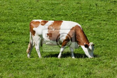 Vache multicolore sur les pâturages