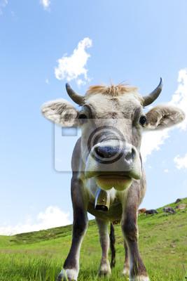 Vache sur le pâturage