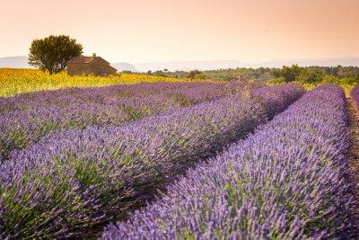 Papiers peints Valensole, Provence, France. Champ plein de fleurs pourpres de lavande