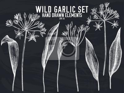 Papiers peints Vector collection of hand drawn chalk wild garlic