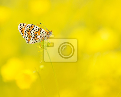 Veldparelmoervlinder rustend tussen de gele boterbloemen