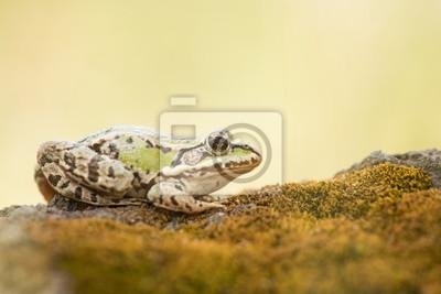 Vert grenouille reposant sur la mousse au fond jaune doux
