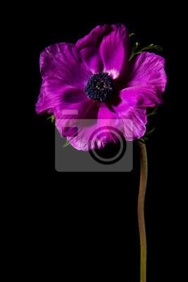 Vertical, image, unique, fleurir, rose, anémone, fleur, noir, fond
