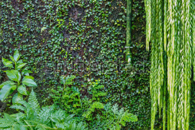 Papiers peints Vieux robinet d'eau vert sur le mur recouvert de lierre vert et de liane, fond vert de jardin. Plantes vertes humides
