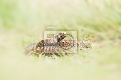 Papiers peints Viper serpent couché dans l'herbe