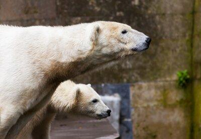 Papiers peints voir les ours polaires