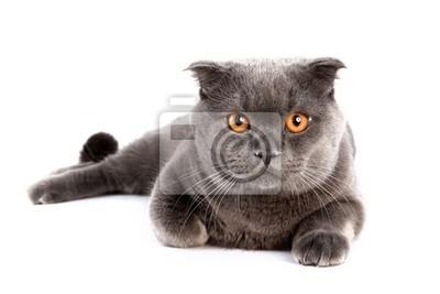 Vue de face de chat British shorthair, 7 mois, assis.