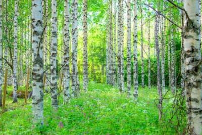 Papiers peints Vue de la forêt de bouleaux d'été de Sotkamo, en Finlande.