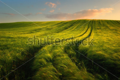 Papiers peints Wheat field landscape with path in the sunset time