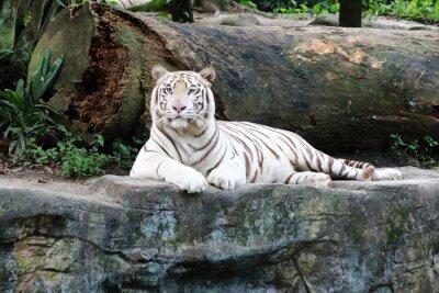 Papiers peints White Tiger 5