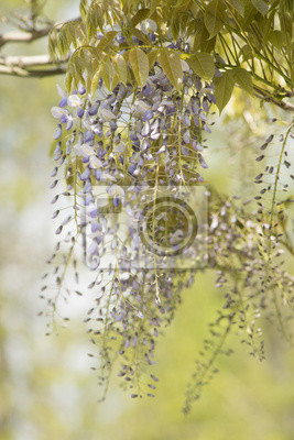 Wisteria fleurit des fleurs suspendues à une branche sur un fond vert naturel