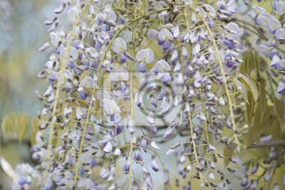 Wisteria fleurit fleurs closeup sur un fond extérieur extérieur de ciel bleu