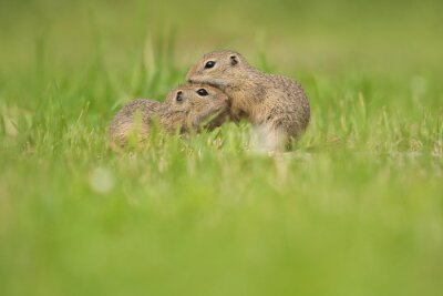wo young european ground squirrels grooming each other in a grass field