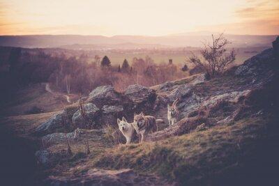 Papiers peints Woflshundrudel tchécoslovaque en liberté dans les montagnes