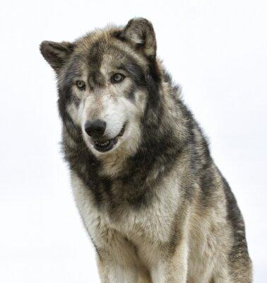 Papiers peints Wolf tête sur fond blanc