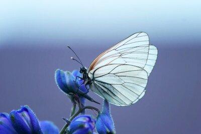 Papiers peints Белая бабочка на синем цветке