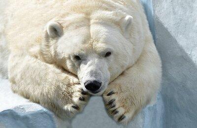 Papiers peints Белый медведь.