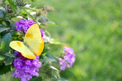 Papiers peints Yellow Butterfly on Purple Flowers Background