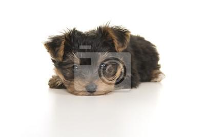 Yorkshire terrier mignon, chiot yorkie couché avec sa tête sur le sol en regardant la caméra sur un fond blanc