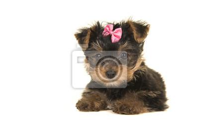 Yorkshire terrier mignon, chiot yorkie couché avec un arc rose en regardant la caméra sur un fond blanc vu de face