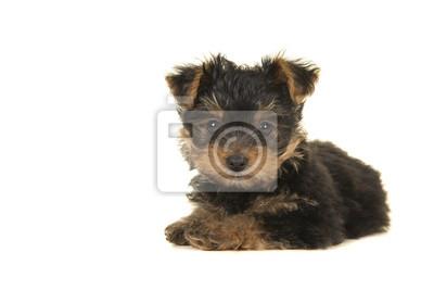 Yorkshire terrier mignon, chiot yorkie couché en regardant la caméra sur un fond blanc