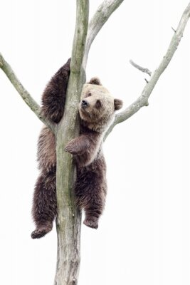 Papiers peints Young brown bear in a tree