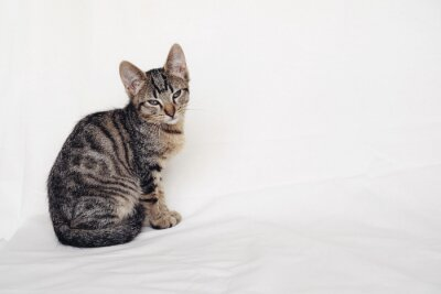 Young European Shorthair cat sitting on white background. Copy space. Mackerel tabby coat color. Cute little sleepy kitten looking at you.