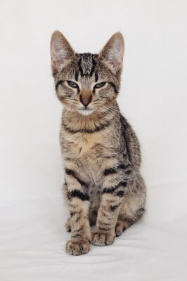 Young European Shorthair cat sitting on white background. Mackerel tabby coat color. Cute sleepy little kitten looking at you.