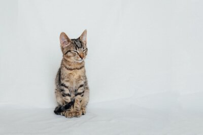 Young European Shorthair cat sitting on white background. Space for text. Mackerel tabby coat color. Cute little sleeping kitten.