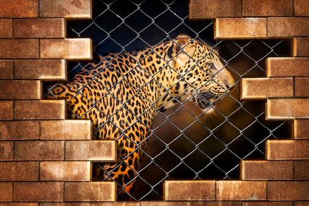 Papiers peints Young leopard internal the cage in concept of resist torture and torture the wildlife