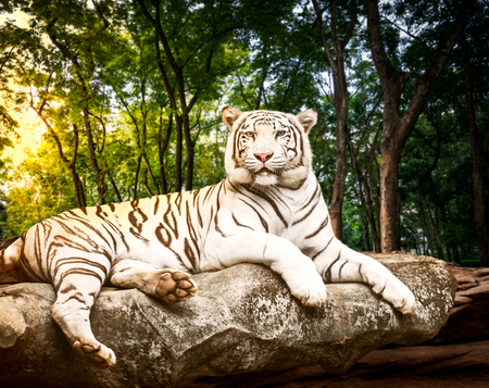 Papiers peints Young white bengal tiger in the act of relax on stone at natural forest