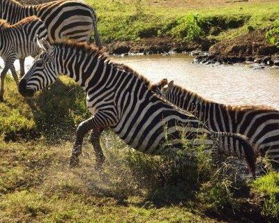 Papiers peints Zebra a sair da água
