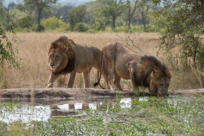 Papiers peints Zwei Löwenbrüder am Wasserloch